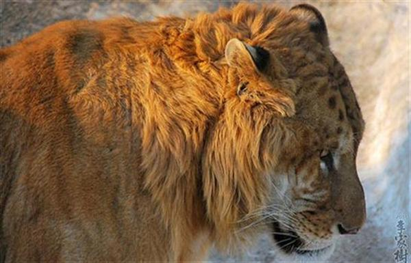 Liger Mane is not as huge as a lion.