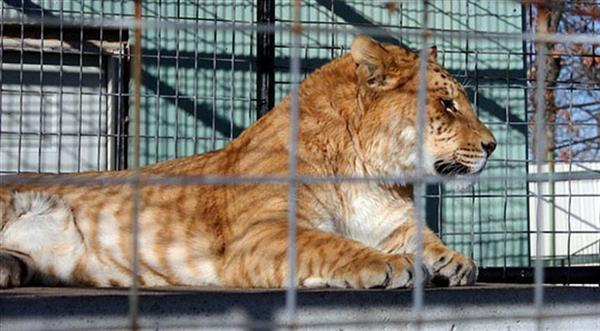 A liger at animal safari zoo in United States.