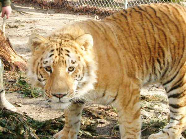 Radar is a Ti-Liger Liger. A Liger which has Male Tiger and Female Liger as its parents.