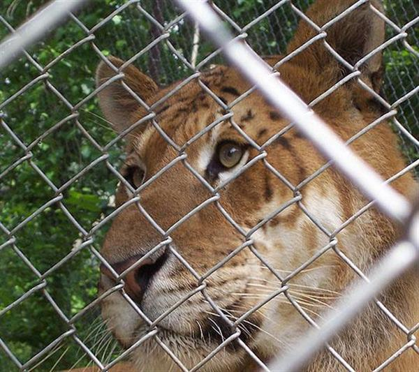 A close view of Eyes of Rocky the liger at an animal Sanctuary in United States.