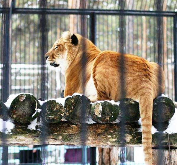 First Liger was born in Russia during 2004. Two Ligers were born at that time.