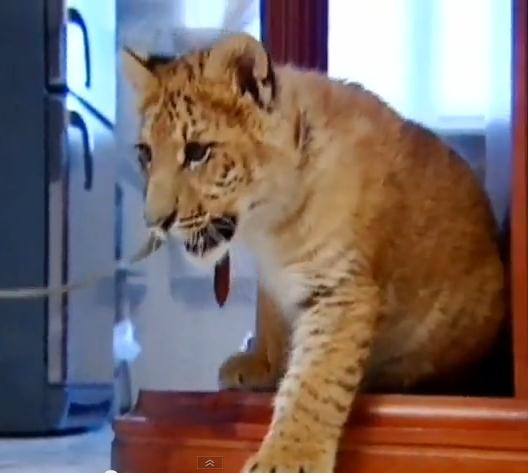 Liger Lyra Lived at an Apartment in Russia. Now the liger lives at Circus.