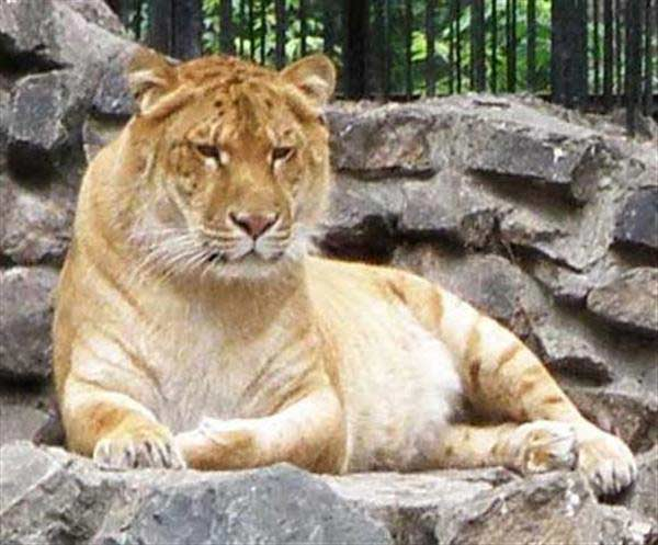 Liger Sitting on Rocks