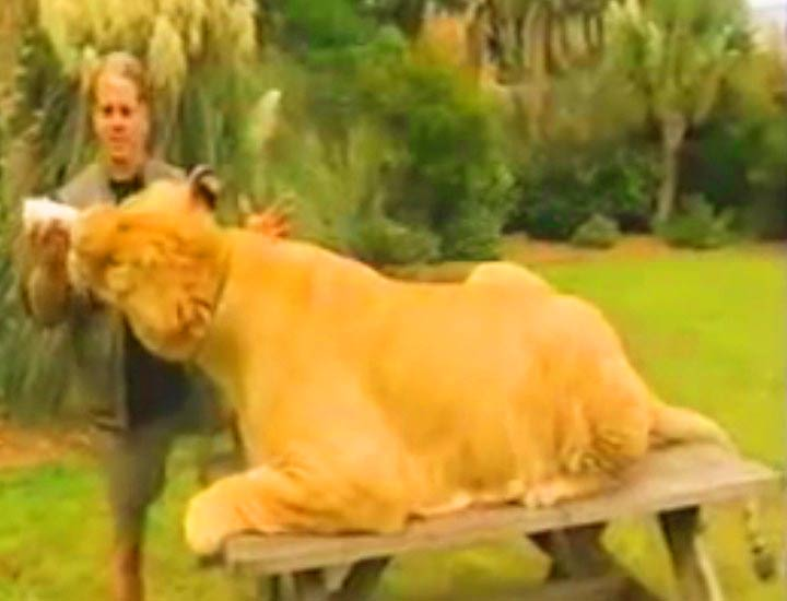 Samson the liger with Dr. Bhagavan Antle.