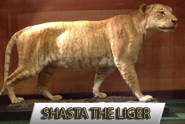 The age of Shasta the liger has disapproved many myths about ligers.
