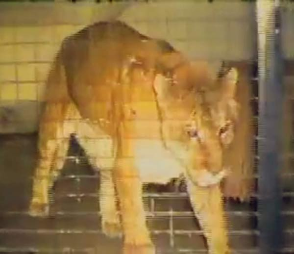 Shasta the liger living alone in her enclosure. Shasta the liger lived a solitary and isolated life in her enclosure.