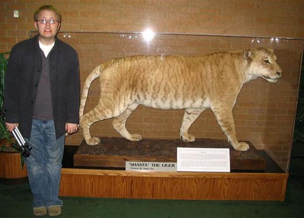 Shasta the liger lived for 24 years