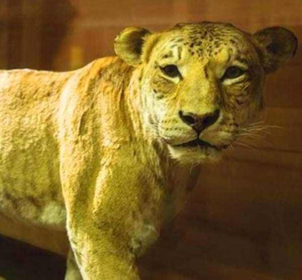 Stuffed body of Shasta the liger at Bean Museum in USA.