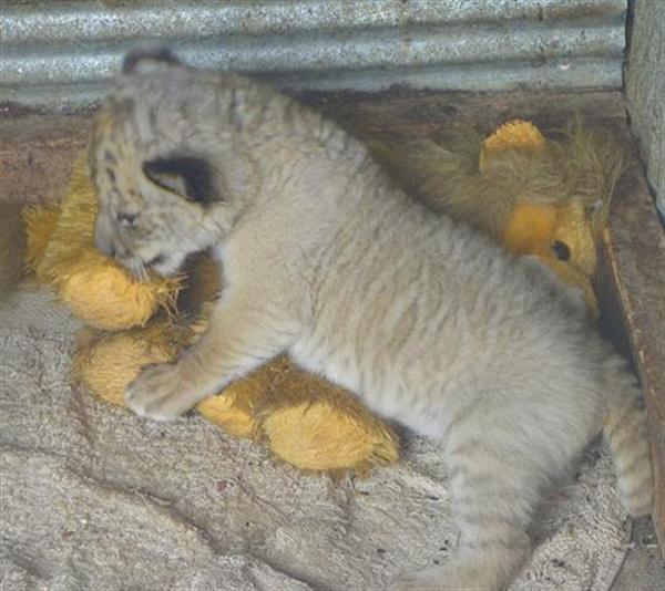 http://ligerworld.com/liger-svenska/liger-ungar.jpg