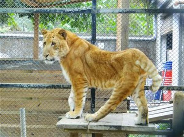 Liger in Taiwan had Deformities. It had a lot of physical problems.