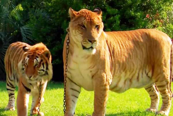 Breed of cats that look like tigers