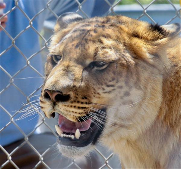 Ligers Strong Teeth.