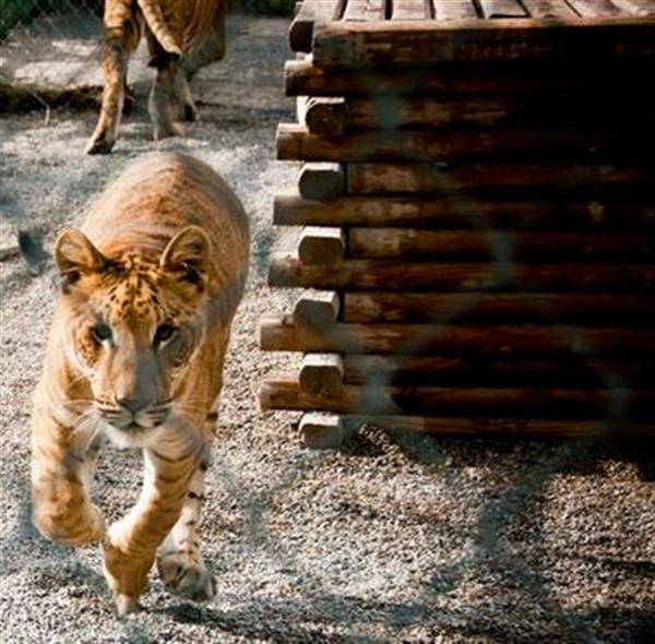 Ligers are fastest after Cheetahs.