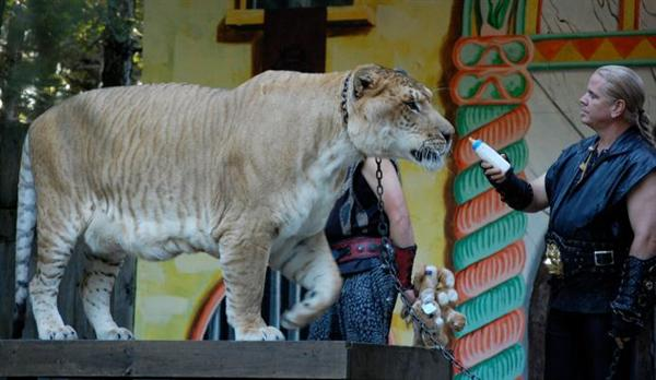 Ligers are the Longest Carnivores Mammals.