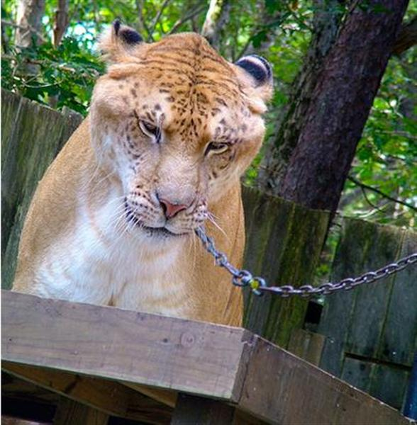 Ligers have Mild Personality.