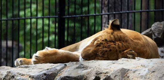 Ligers have a small Lifespan. They are unhealthy. They have small age.
