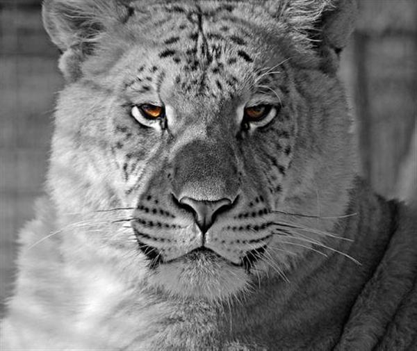 ligers informative speech Tiger - download as word  ligers are typically between 10 and  the speech made no reference to ethical or religious issues about killing animals but.