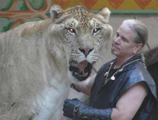Hercules the liger along with Bhagavan Antle in United States.