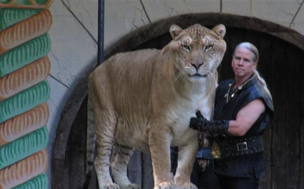 Liger with a Huge Size. This is Hercules the liger and his master Mr. Antle.