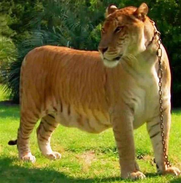 Liger Sinbad on National Geographic.