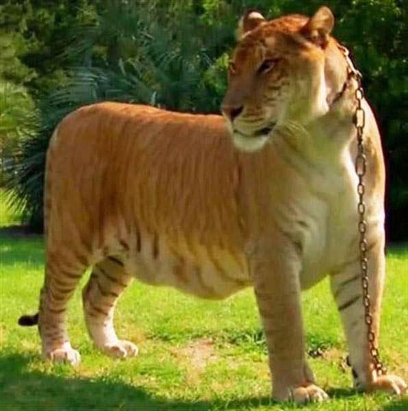 The Tallest Big Cat