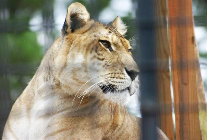 A Liger at a zoo in United States.