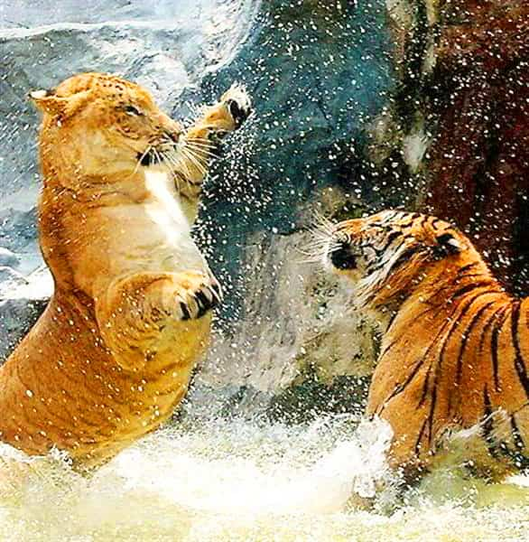 Both liger and tiger are good swimmers. Ligers love to swim while tigers even hunt in water as well.