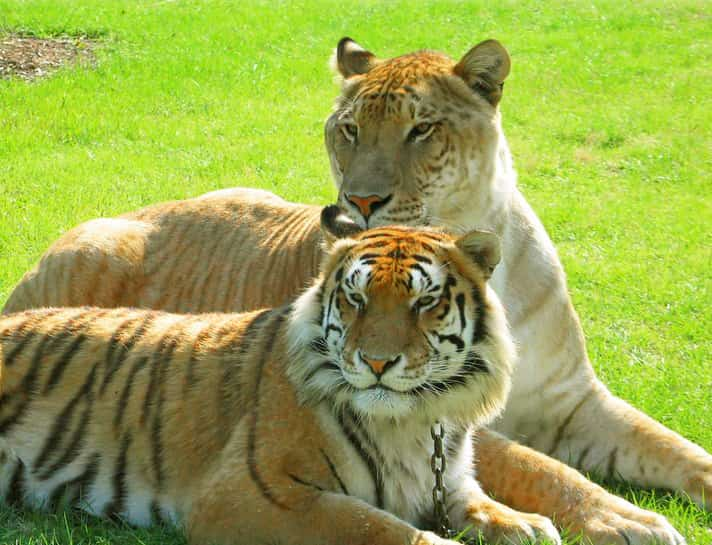 Both liger and tiger can live in captivity for 15 years on average.