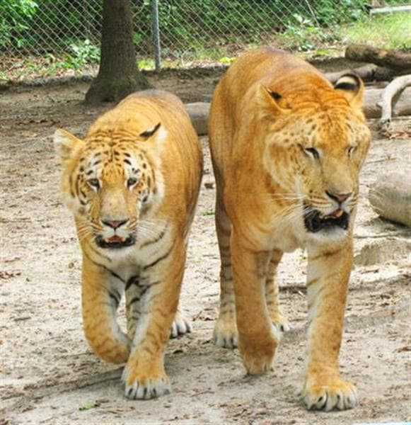 A liger grows at around one pound per day during is growth years. A tiger on the other hand grows at around half a pound per day during its growth period.