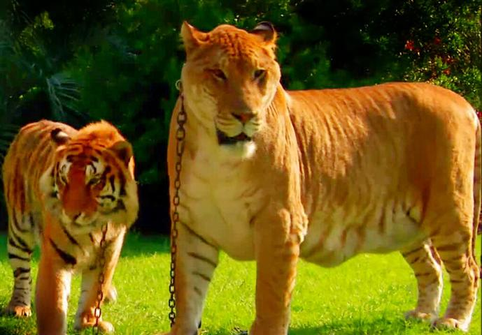 Liger's height is around 6 feet tall while a tiger's height is around 4 and a half feet.
