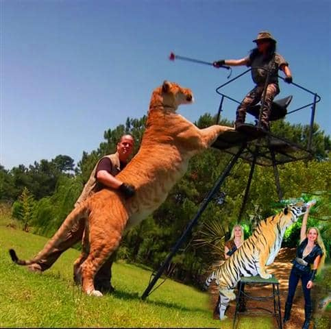 A liger can be as long as 12 feet in length while a tiger's length is around 10 feet long.