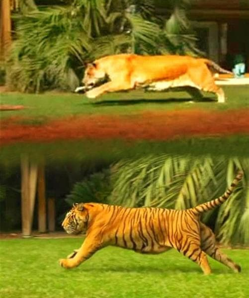 Both liger and tiger has a speed of around 50 to 60 miles per hour.