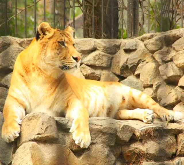 фото лигр и тигон желаю тебе