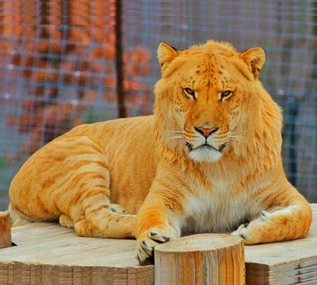 фото лигр и тигон усиливается высокой
