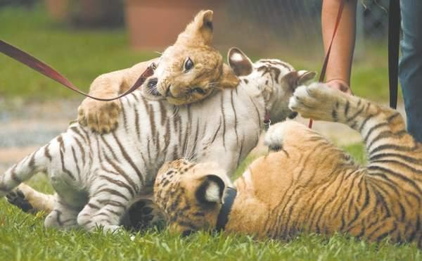 Liger Wayne playing with tiger Cubs.