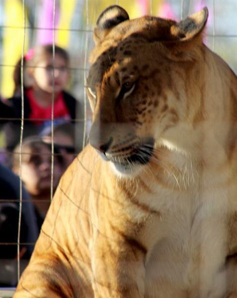 Liger Female Weighs 800 pounds. Female Ligers are smaller than male ligers.