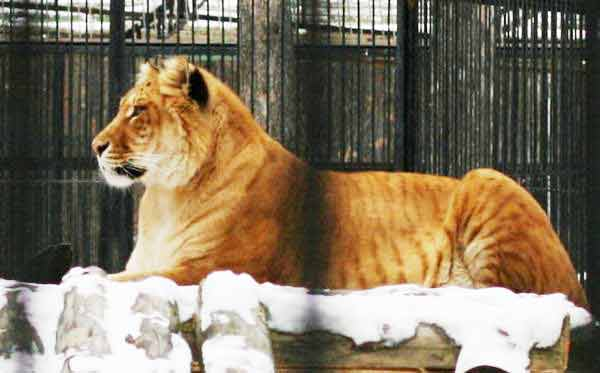 Female Ligers Sometimes weigh around 400 pounds too.