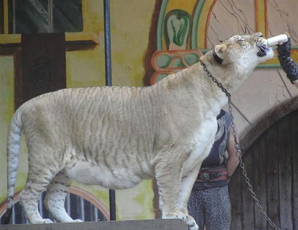 Wild Liger is dependent on wild Lions and Wild Tigers.