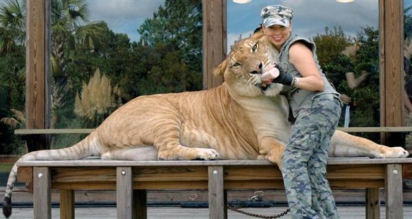 Liger Hercules loves Rajani Ferrante. She loves to feed Hercules the liger.