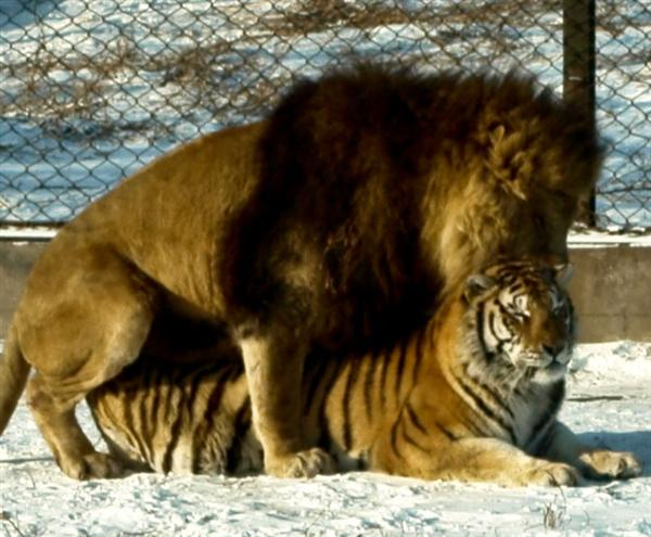 Liger resulting from an Asiatic Male Lion and Female Tiger.