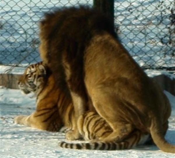 Liger, Lions and tigers Behavior.
