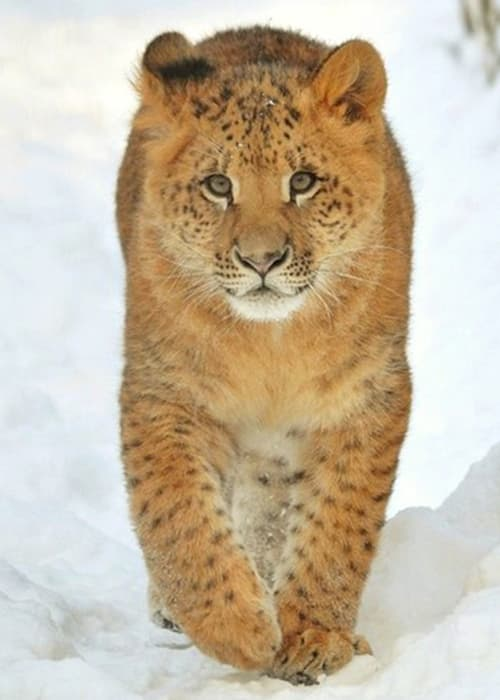 Liliger - An Offspring of Lion & Liger