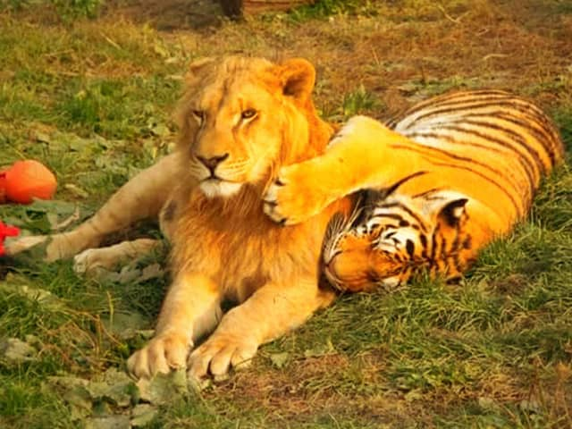 tiger and lion images  Lion vs. Tiger