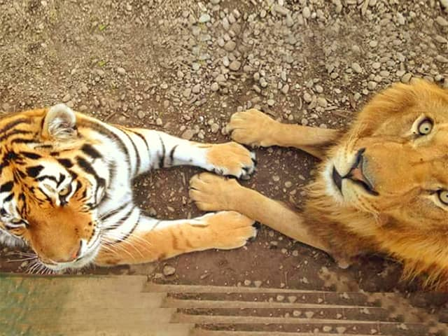 Lion vs tiger paws and claws size comparison. Tiger has bigger and stronger paws and claws.