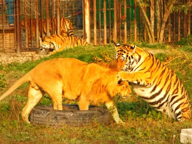Lion vs tiger fight during Roman Empire. Tiger used to win these fights.