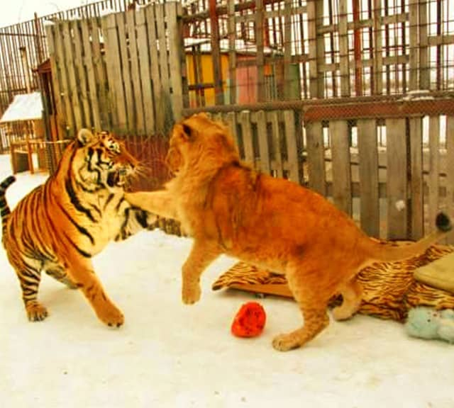 Lion vs tiger fight. A tiger will always win fight.