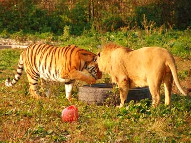 Lion vs. Tiger Heigh Comparison. A Siberian Tiger is bigger in height than an African Lion.
