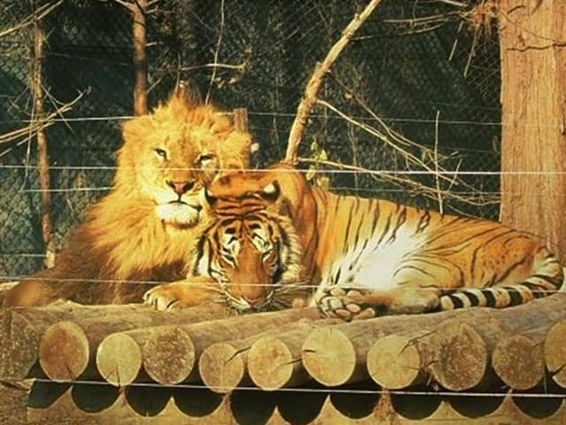 Lion vs tiger Intelligence. A tiger is more intelligent than a lion.