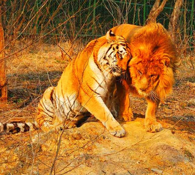 A tiger is a bigger man-eater than a lion. A tiger has a worst record as man-eater than a lion.