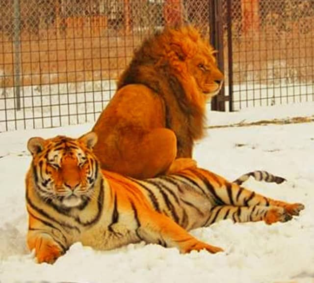 A lion has an advantage of mane around his neck as a protection armor. Lion vs tiger mane comparison.